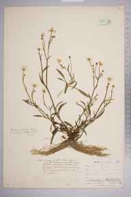 Ranunculus flammula subsp. flammula herbarium specimen from Carminowe Creek, Loe Pool, VC1 West Cornwall in 1899 by Mr Allan Octavian Hume.