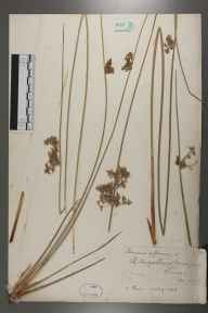 Juncus effusus herbarium specimen from Hedge Court, VC17 Surrey in 1883 by Mr William Hadden Beeby.