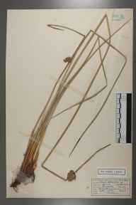 Juncus effusus herbarium specimen from Great Bookham Common, VC17 Surrey in 1954 by Peter Charles Hall.