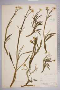 Ranunculus flammula subsp. flammula herbarium specimen from Kynance, VC1 West Cornwall in 1899 by Mr Allan Octavian Hume.