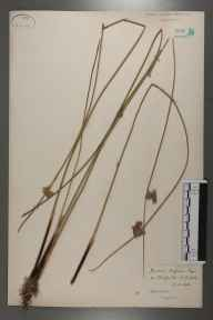 Juncus inflexus x effusus = J. x diffusus herbarium specimen from Bradfield, Norfolk in 1886 by Rev William Richardson Linton.