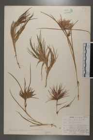 Juncus bulbosus herbarium specimen from Zennor, VC1 West Cornwall in 1902 by Mr Allan Octavian Hume.
