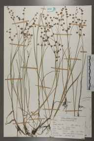 Juncus articulatus herbarium specimen from Kingsley, VC12 North Hampshire in 1962 by Peter Charles Holland.