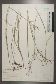 Juncus articulatus herbarium specimen from Amberley Wild Brooks, VC13 West Sussex in 1928 by Mr Edward Charles Wallace.