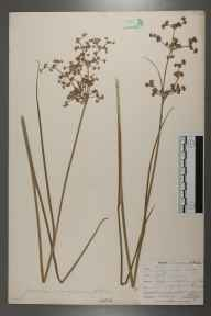 Juncus acutiflorus herbarium specimen from Bedruthan Steps, VC1 West Cornwall in 1901 by Mr Allan Octavian Hume.