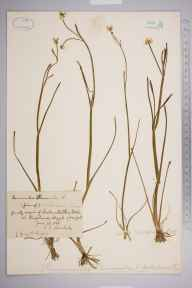 Ranunculus flammula subsp. scoticus herbarium specimen from Kingshouse, VC98 Argyllshire in 1888 by Rev. Edward Shearburn Marshall.