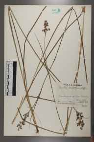 Juncus acutiflorus herbarium specimen from Wire mill pond, VC17 Surrey in 1932 by Mr Job Edward Lousley.
