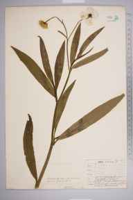 Ranunculus lingua herbarium specimen from Bickley, VC16 West Kent in 1908 by William Henry Griffin.