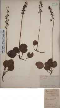 Pyrola media herbarium specimen from Killin, VC88 Mid Perthshire in 1835 by Joseph Woods.