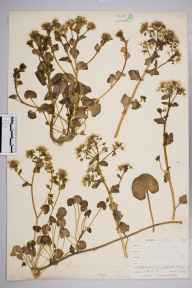 Cochlearia officinalis herbarium specimen from Carbis Bay, VC1 West Cornwall in 1899 by Mr Allan Octavian Hume.