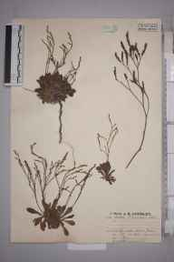 Limonium binervosum herbarium specimen from Lydden Spout, VC15 East Kent in 1925 by Mr Job Edward Lousley.