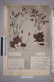 Limonium binervosum herbarium specimen from Dawlish Warren, VC3 South Devon in 1913 by Mr Charles Waterfall.