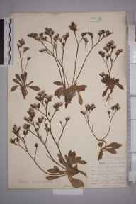 Limonium binervosum herbarium specimen from Bedruthan Steps, VC1 West Cornwall in 1901 by Mr Allan Octavian Hume.