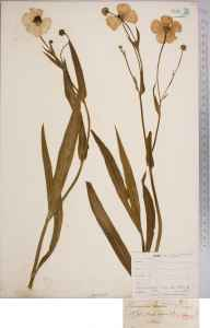 Ranunculus lingua herbarium specimen from Lewes, VC14 East Sussex in 1839 by Joseph Woods.