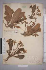 Primula vulgaris herbarium specimen from Twycross, VC55 Leicestershire in 1843 by Rev Andrew Bloxam.