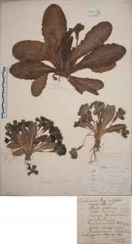 Primula vulgaris herbarium specimen collected in 1825 by Philip Anton Christoph Endress.
