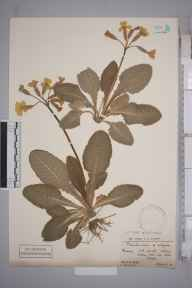 Primula veris herbarium specimen from Ockley, VC17 Surrey in 1900 by Mr Charles Edgar Salmon.