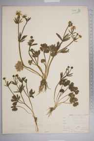 Ranunculus auricomus herbarium specimen from Bromley, Kent in 1901 by William Henry Griffin.