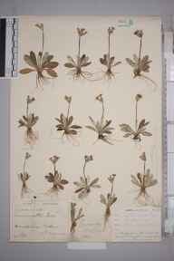 Primula scotica herbarium specimen from Dunnet, VC109 Caithness in 1902 by Mr Francis Chalmers Crawford.