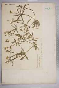 Ranunculus auricomus herbarium specimen from Hanwell, VC21 Middlesex in 1903 by Charles Baylis Green.
