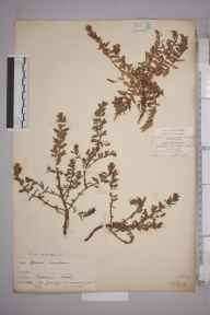Glaux maritima herbarium specimen from Bradwell on Sea, VC18 South Essex in 1878 by Hugh Neville Dixon.