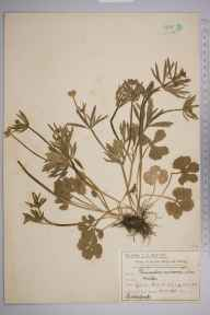 Ranunculus auricomus herbarium specimen from Malden, VC17 Surrey in 1910 by Mr Charles Edward Britton.