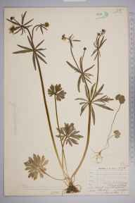 Ranunculus auricomus herbarium specimen from Holwood Park, VC16 West Kent in 1904 by William Henry Griffin.