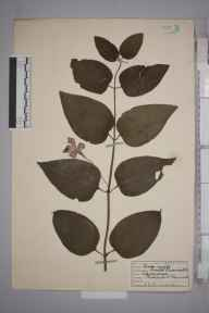 Vinca major herbarium specimen from Radipole, VC9 Dorset in 1936 by S M Gaster.