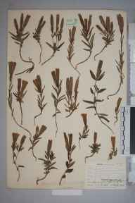 Gentiana pneumonanthe herbarium specimen from Penrhos-Lligwy Church, VC52 Anglesey in 1905 by Mr Allan Octavian Hume.