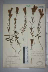 Gentiana pneumonanthe herbarium specimen from Chuck Hatch, VC14 East Sussex in 1930 by Mr Edward Charles Wallace.