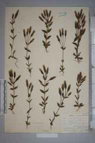 Gentianella campestris herbarium specimen from Quintrell Downs, VC1 West Cornwall in 1902 by Dr Chambre Corker Vigurs.