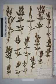 Gentianella campestris herbarium specimen from Formby, VC59 South Lancashire in 1905 by Mr Allan Octavian Hume.