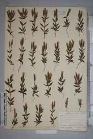 Gentianella campestris herbarium specimen from Camborne, VC1 West Cornwall in 1905 by Mr Frederick Hamilton Davey.