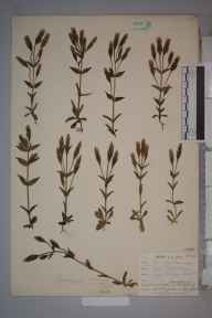 Gentianella campestris herbarium specimen from Newquay, VC1 West Cornwall in 1902 by Dr Chambre Corker Vigurs.