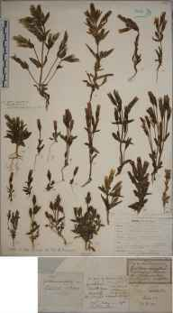 Gentianella campestris herbarium specimen from Steephill, VC10 Isle of Wight in 1878 by Mr Frederic Stratton.