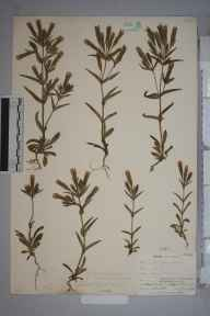 Gentianella campestris herbarium specimen from Upper Teesdale, VC66 County Durham in 1903 by Mr Allan Octavian Hume.