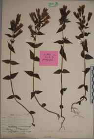 Gentianella germanica herbarium specimen from Letcombe, VC22 Berkshire in 1907 by William Henry Griffin.