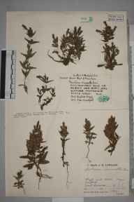 Gentianella amarella herbarium specimen from High and Over, VC14 East Sussex in 1931 by Mr Job Edward Lousley.