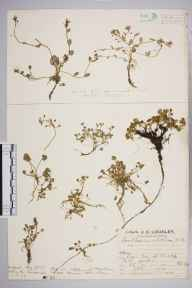 Cochlearia pyrenaica subsp. alpina herbarium specimen from Mickle Fell, VC65 North-west Yorkshire in 1927 by Mr Job Edward Lousley.