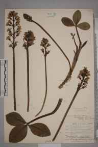 Menyanthes trifoliata herbarium specimen from Catford, VC16 West Kent in 1904 by William Henry Griffin.