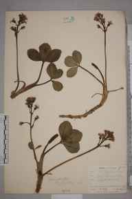 Menyanthes trifoliata herbarium specimen from Perranarworthal, VC1 West Cornwall in 1901 by Mr Frederick Hamilton Davey.