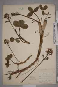 Menyanthes trifoliata herbarium specimen from Chyenhal Moor, VC1 West Cornwall in 1899 by Mr Allan Octavian Hume.