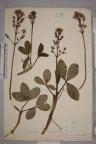 Menyanthes trifoliata herbarium specimen from West Looe, VC2 East Cornwall in 1900 by Mr Allan Octavian Hume.