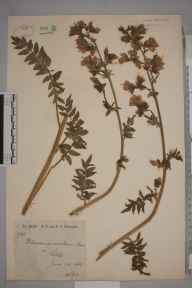 Polemonium caeruleum herbarium specimen from Settle, VC64 Mid-west Yorkshire in 1881 by Rachel Ford Thompson.