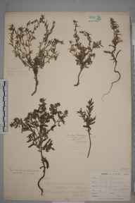 Lappula squarrosa herbarium specimen from Devoran, VC1 West Cornwall in 1900 by Mr Frederick Hamilton Davey.