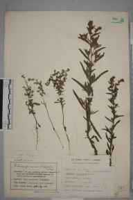 Lappula squarrosa herbarium specimen from Saint Annes on the Sea, VC60 West Lancashire in 1908 by Mr Charles Bailey.