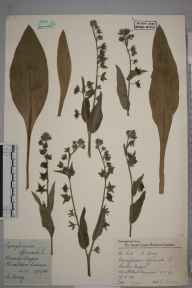 Cynoglossum officinale herbarium specimen from Wimbledon Common, VC17 Surrey in 1958 by Charles Avery.