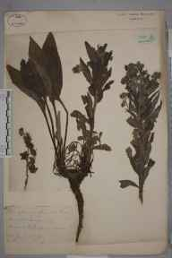 Cynoglossum officinale herbarium specimen from Lewes, VC14 East Sussex in 1871 by Mr William Hadden Beeby.