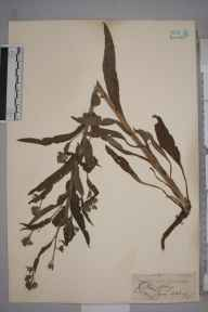 Cynoglossum officinale herbarium specimen from Calke Abbey, VC57 Derbyshire in 1843 by Mr Frederick Townsend.