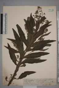 Cynoglossum officinale herbarium specimen from Saint Lawrence, VC10 Isle of Wight in 1839 by A Hamburgh.